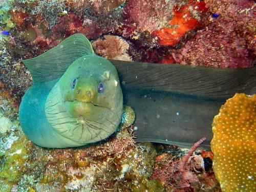 green-moray-guanaja
